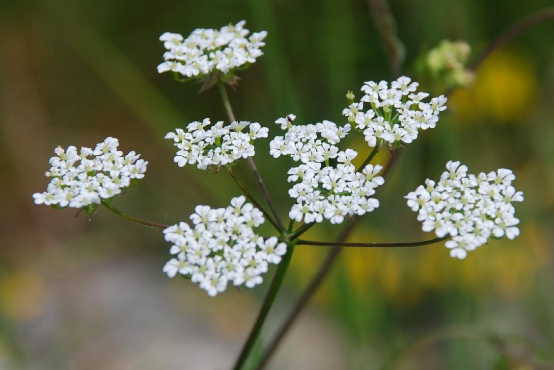 Chaerophyllum temulum 9