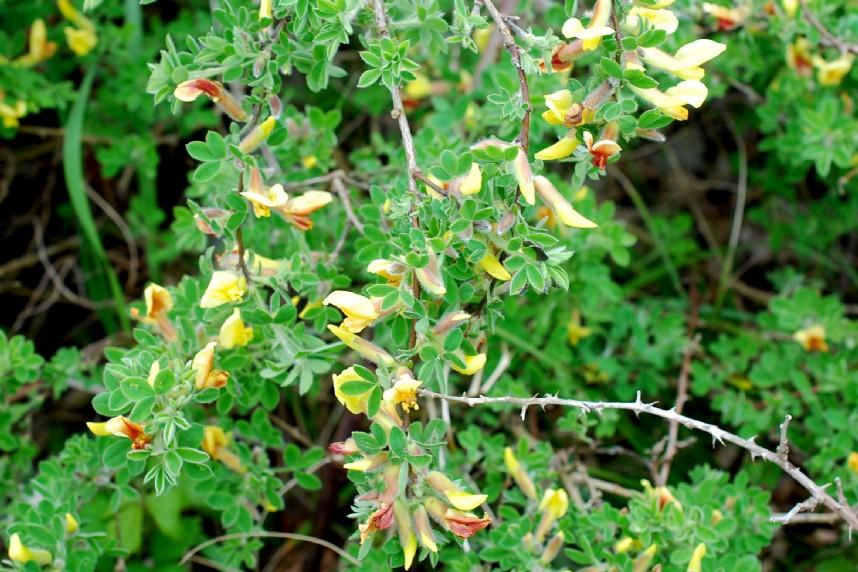 Chamaecytisus triflorus 19
