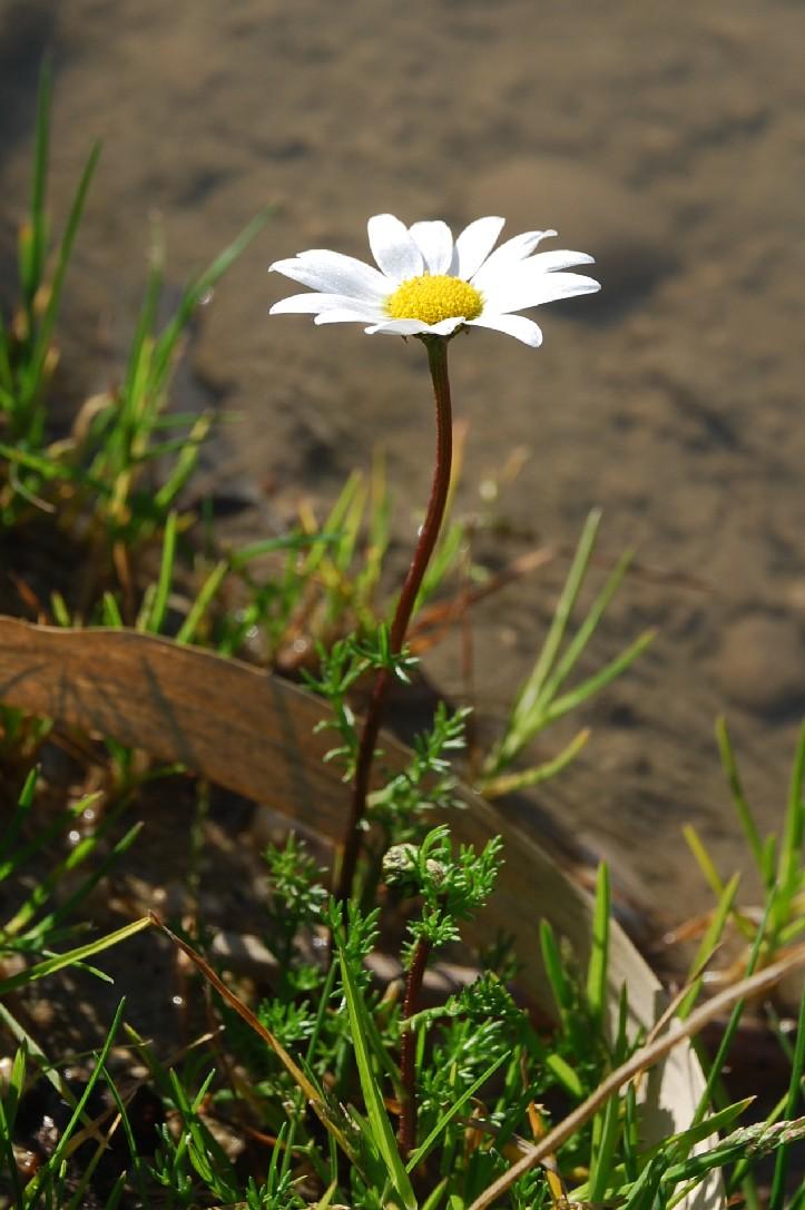 Chamaemelum fuscatum