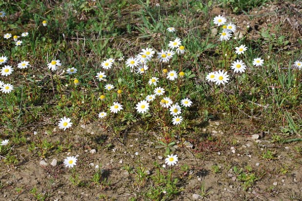 Chamaemelum fuscatum 11