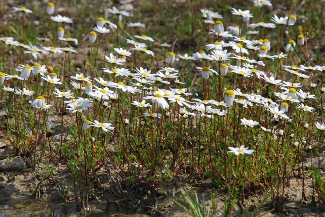 Chamaemelum fuscatum  12