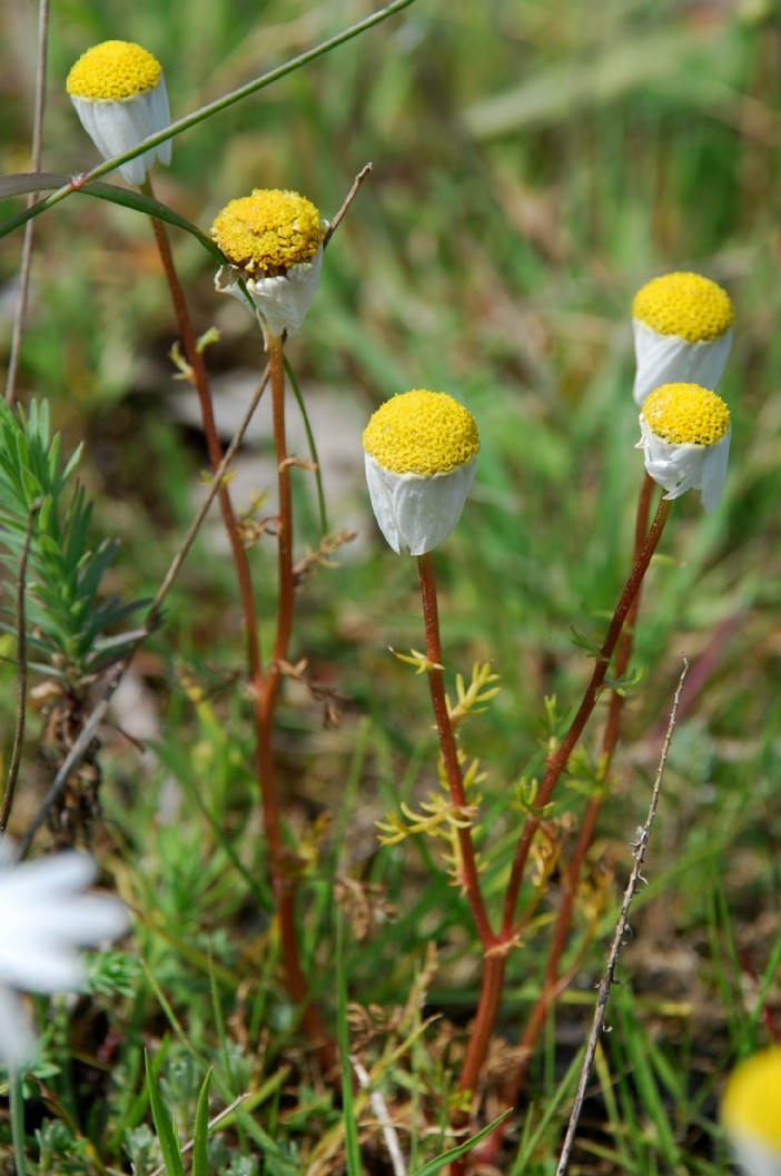 Chamaemelum fuscatum  13