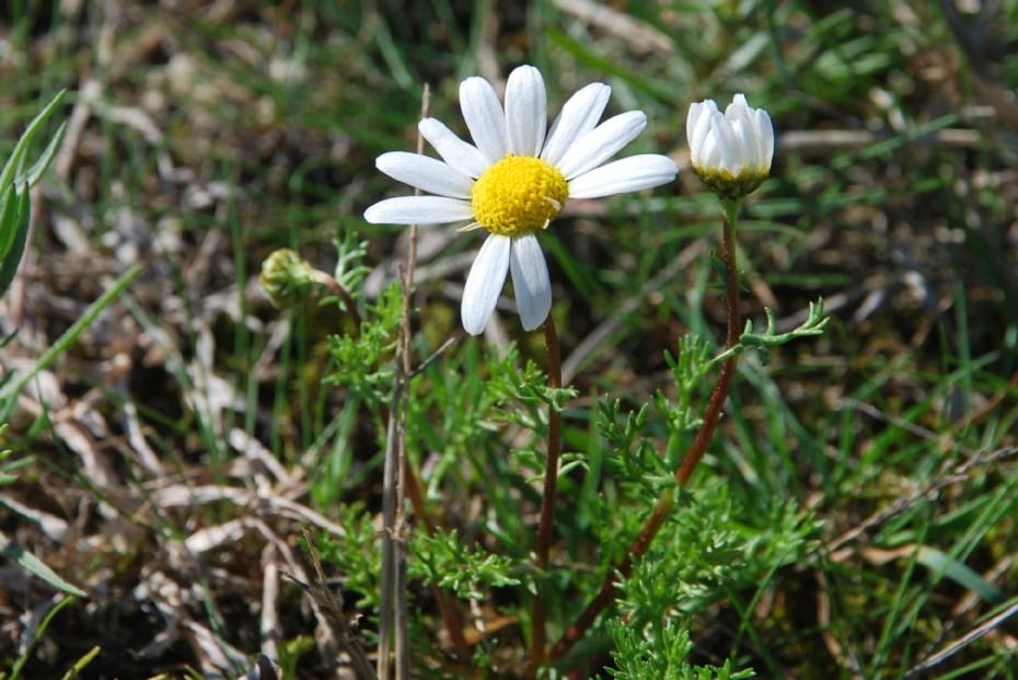 Chamaemelum fuscatum 15