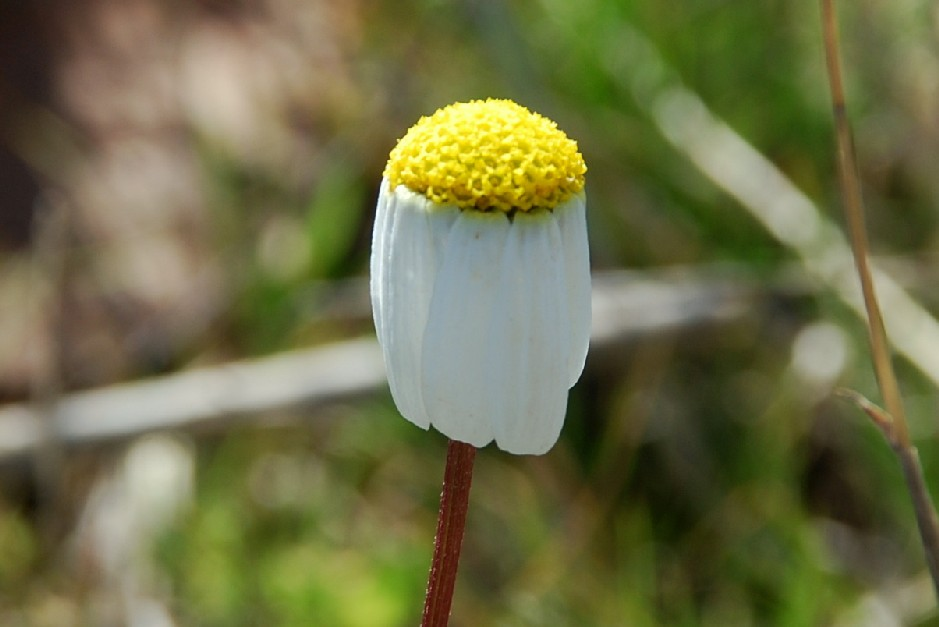 Chamaemelum fuscatum 20