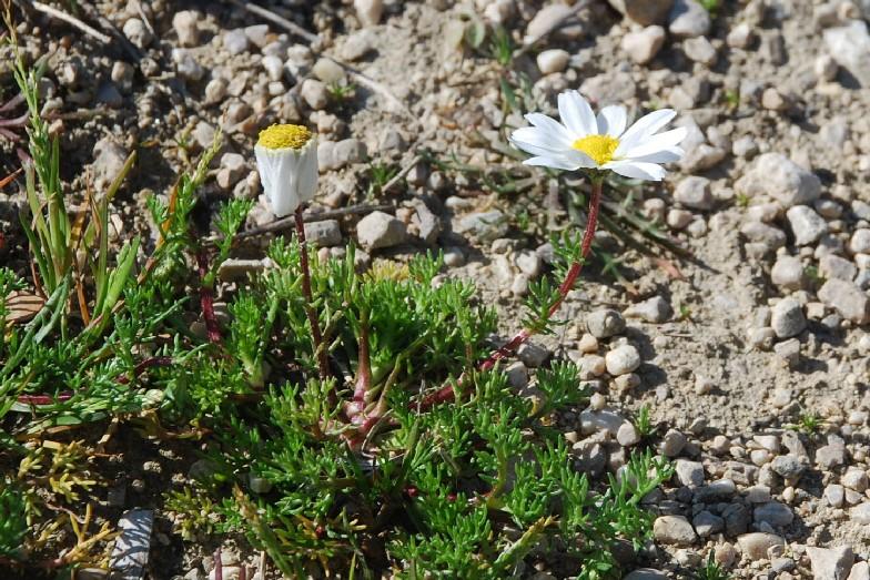 Chamaemelum fuscatum 25