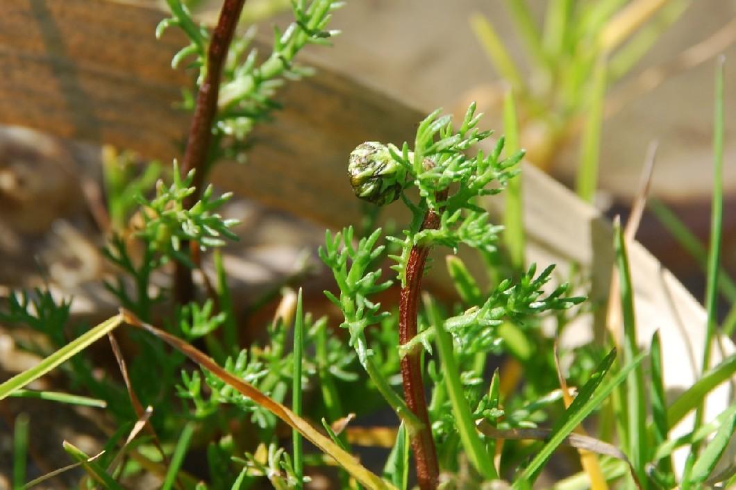 Chamaemelum fuscatum 5