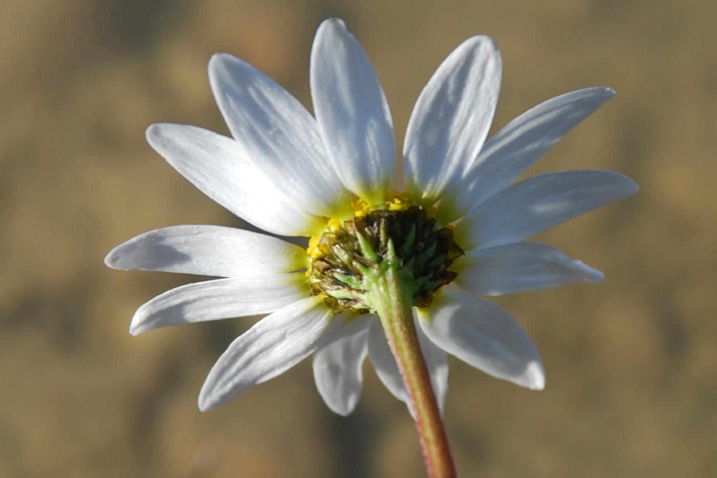Chamaemelum fuscatum 6