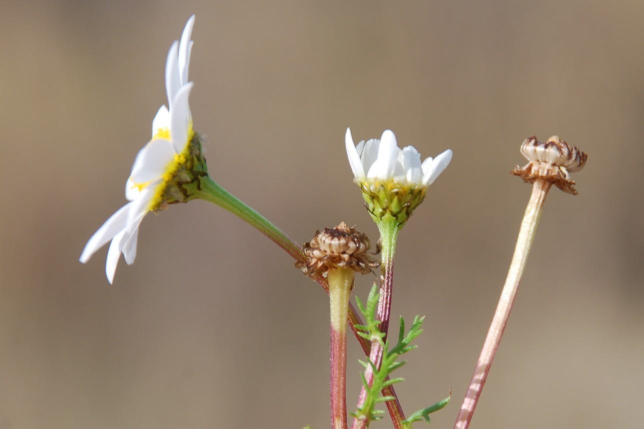 Chamaemelum fuscatum  8