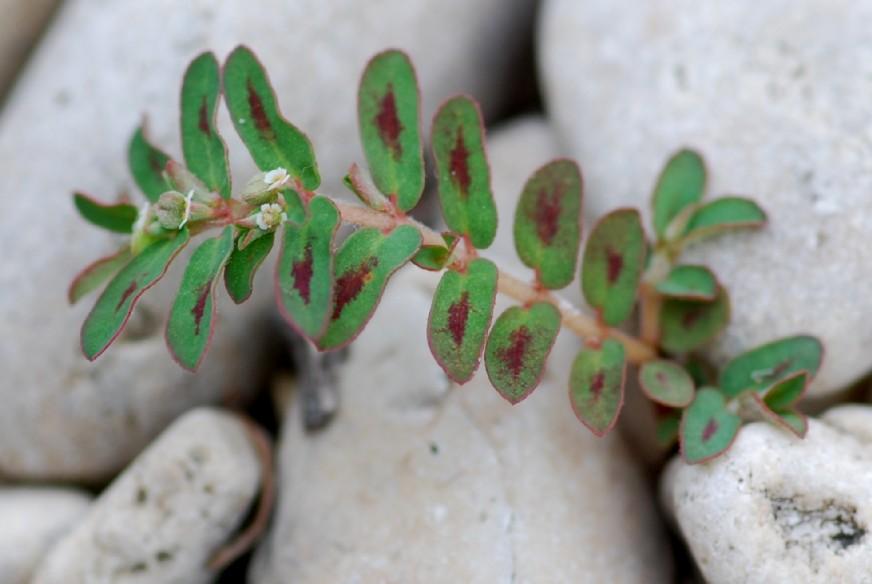 Chamaesyce maculata