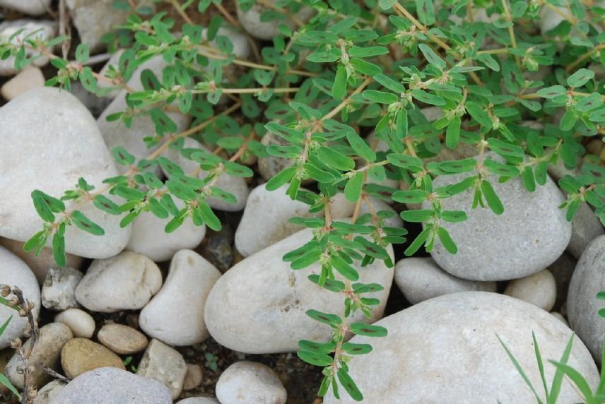 Chamaesyce maculata 5