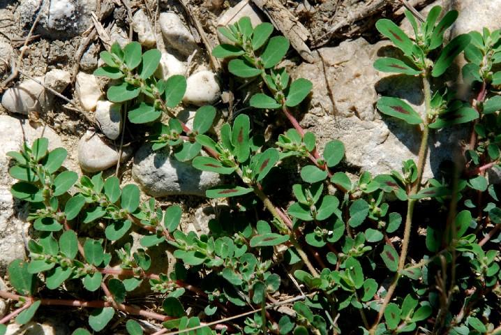 Chamaesyce maculata 7