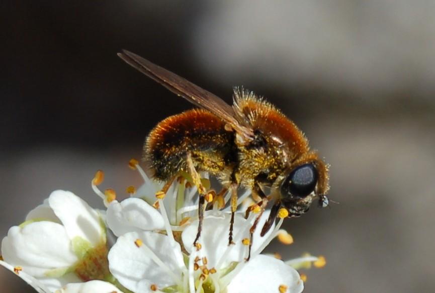 Cheilosia chrysocoma - Syrphidae