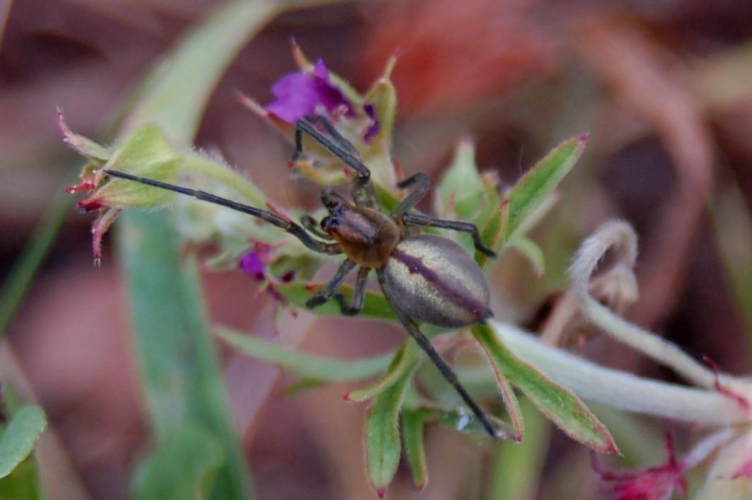 Cheiracantium sp. - Miturgidae