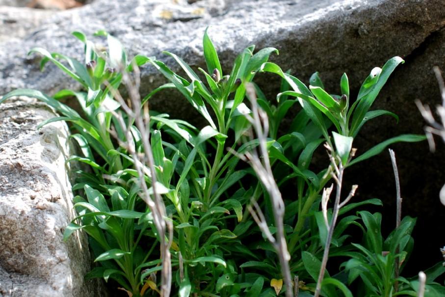 Cheiranthus cheiri 6