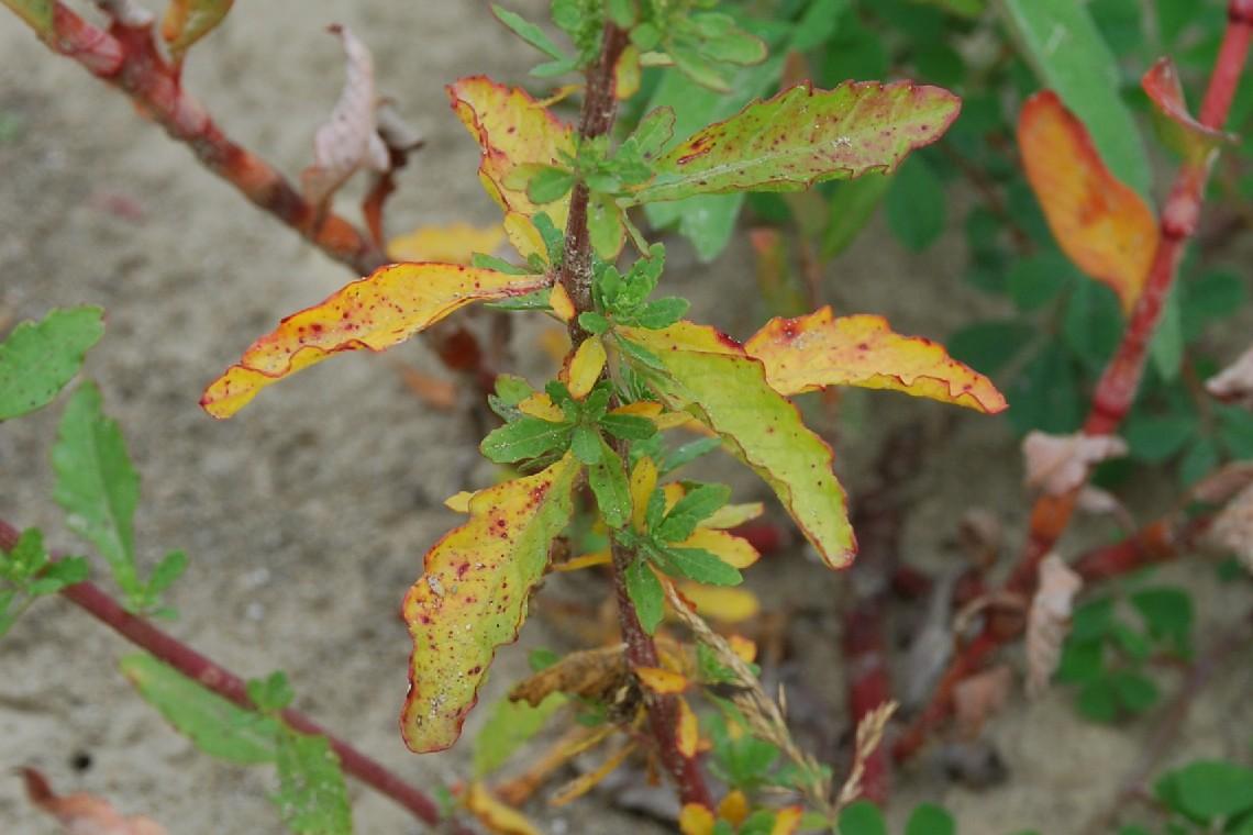 Chenopodium ambrosioides 19