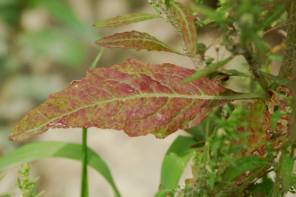 Chenopodium ambrosioides 9