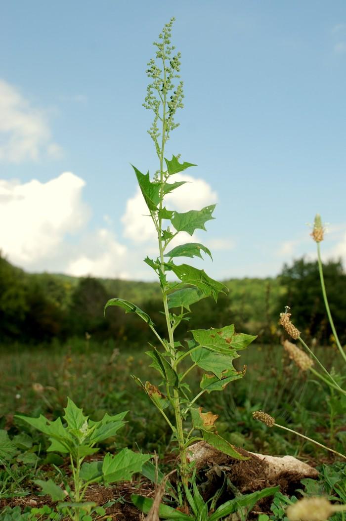 Chenopodium hybridum 14