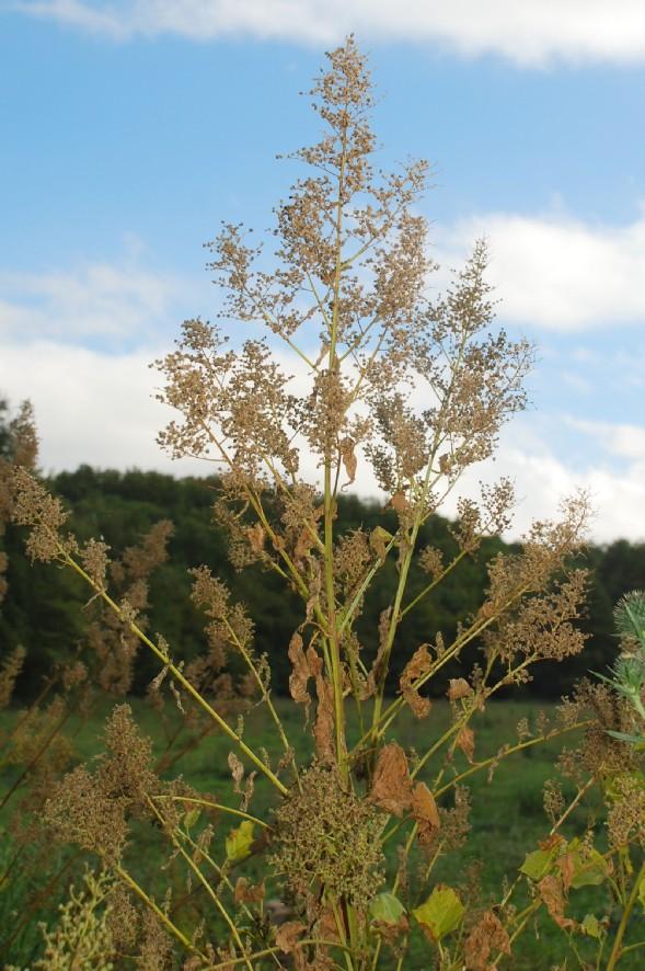 Chenopodium hybridum 21