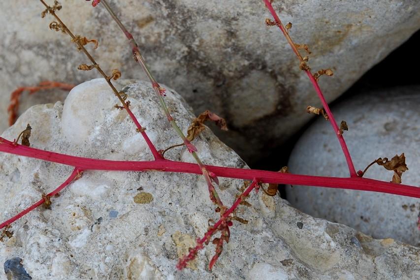 Chenopodium polyspermum 20