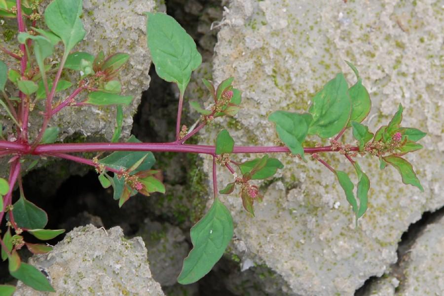 Chenopodium polyspermum 24