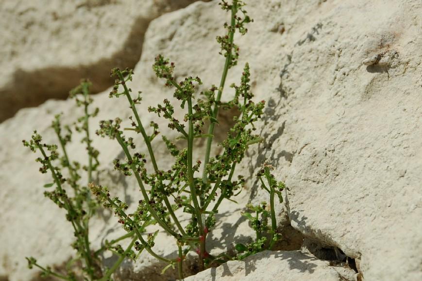 Chenopodium polyspermum 36