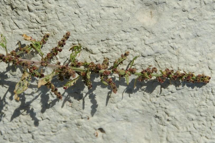 Chenopodium polyspermum 37