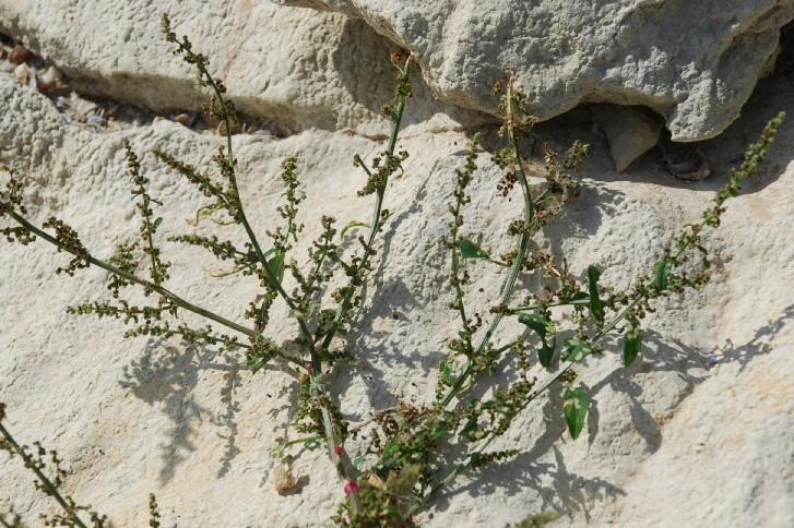 Chenopodium polyspermum 39