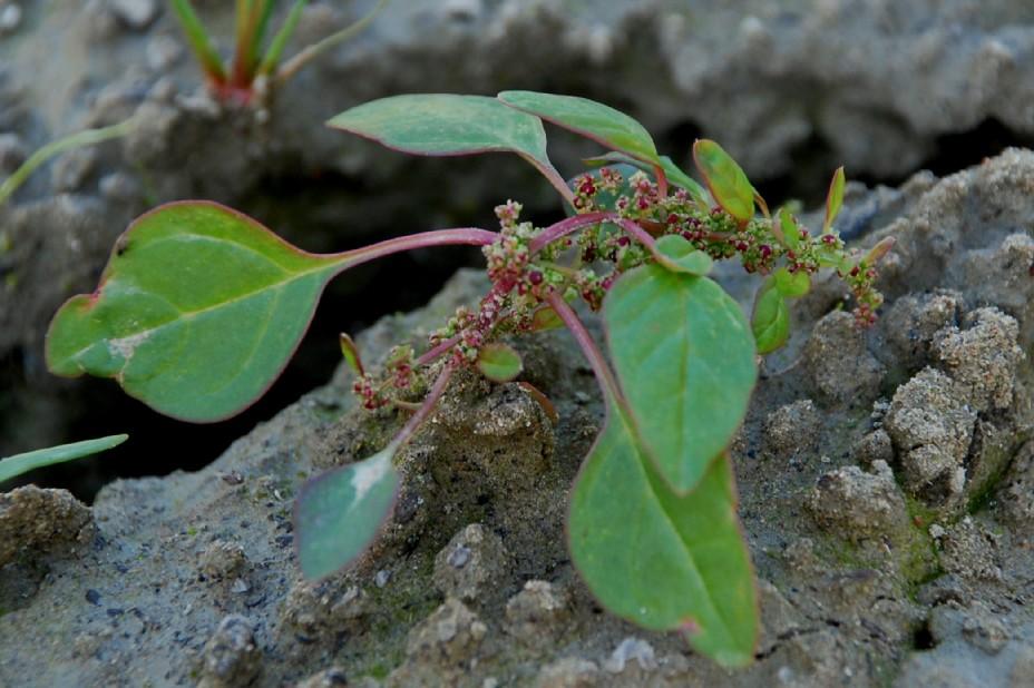 Chenopodium polyspermum 4
