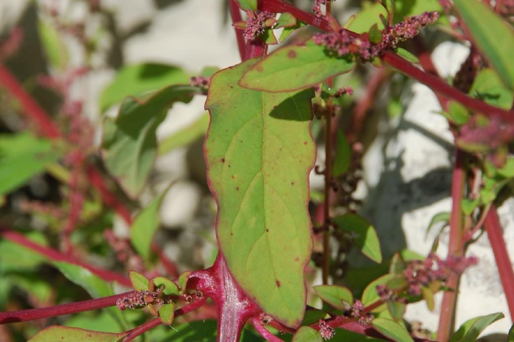 Chenopodium polyspermum 46