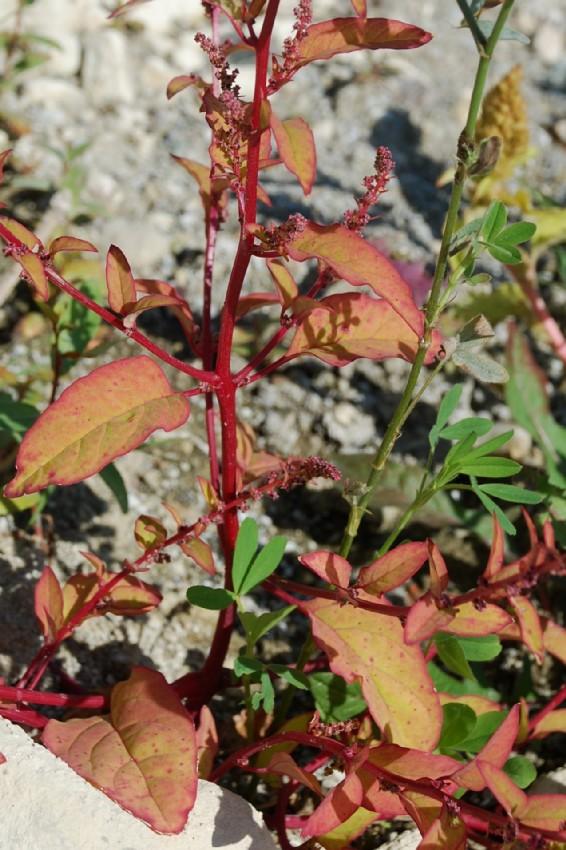 Chenopodium polyspermum 48