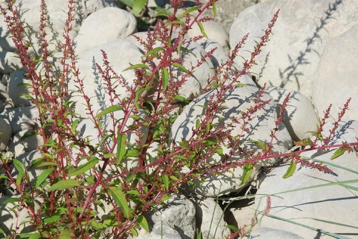Chenopodium polyspermum 49