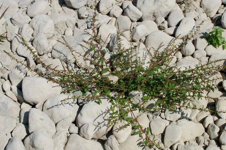 Chenopodium polyspermum 50