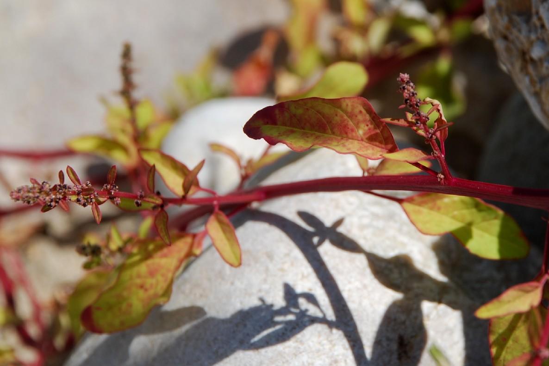 Chenopodium polyspermum 7