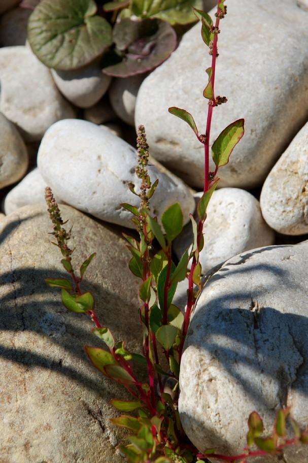 Chenopodium polyspermum 9