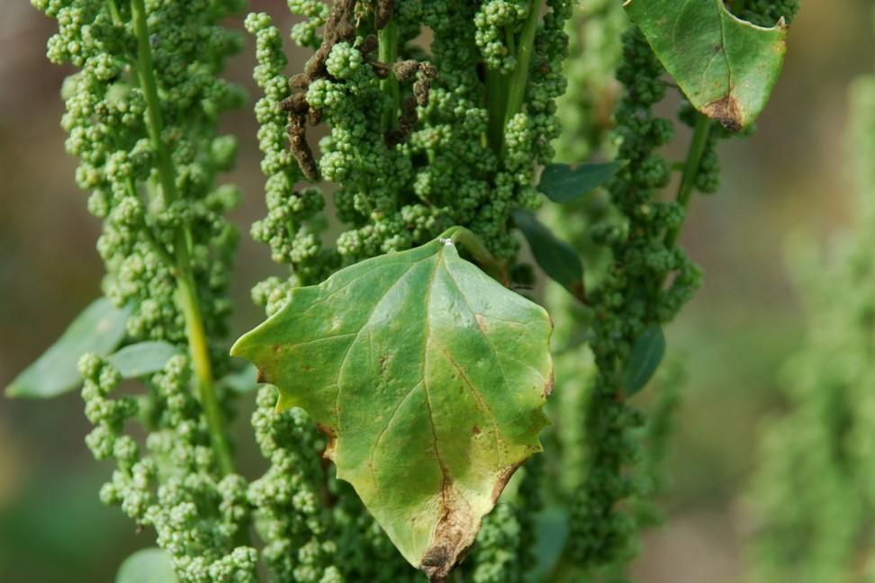 Chenopodium urbicum 17