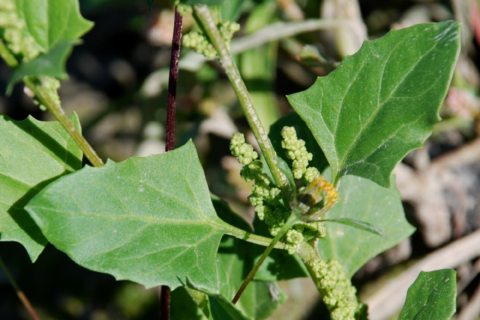 Chenopodium urbicum 5