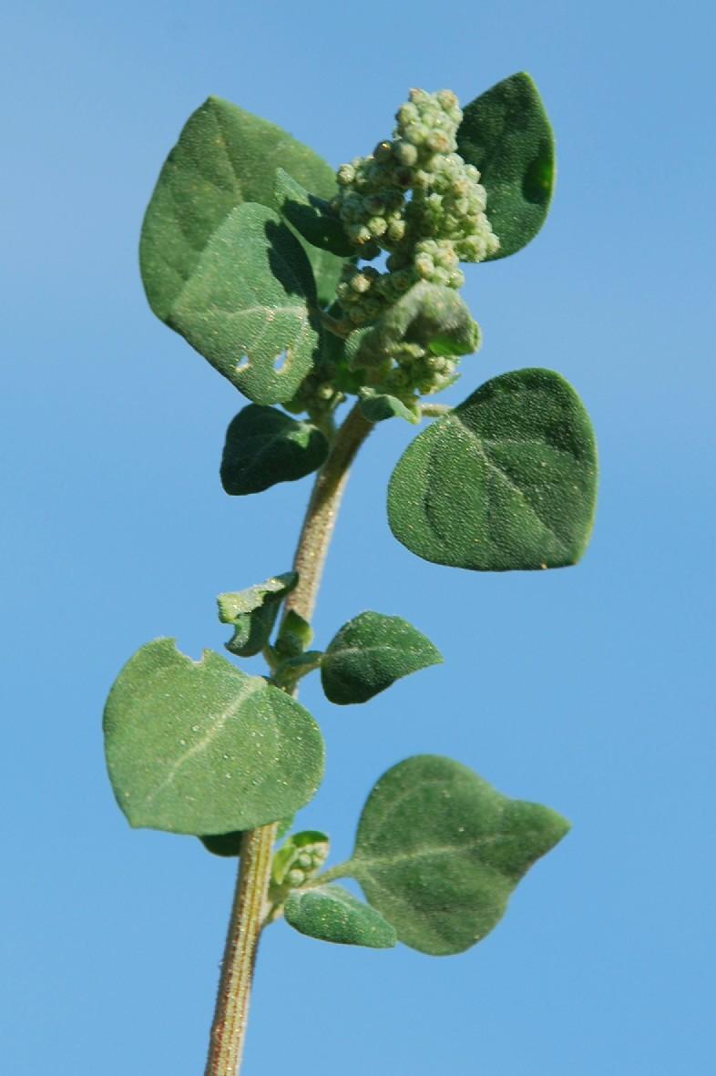 Chenopodium vulvaria 2