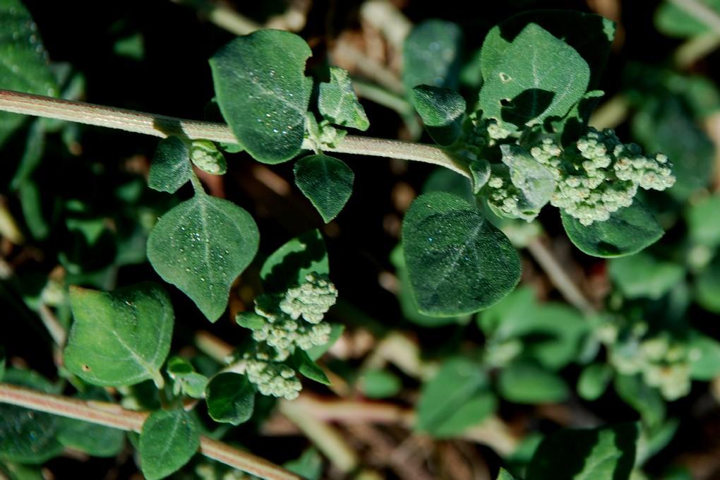 Chenopodium vulvaria 4