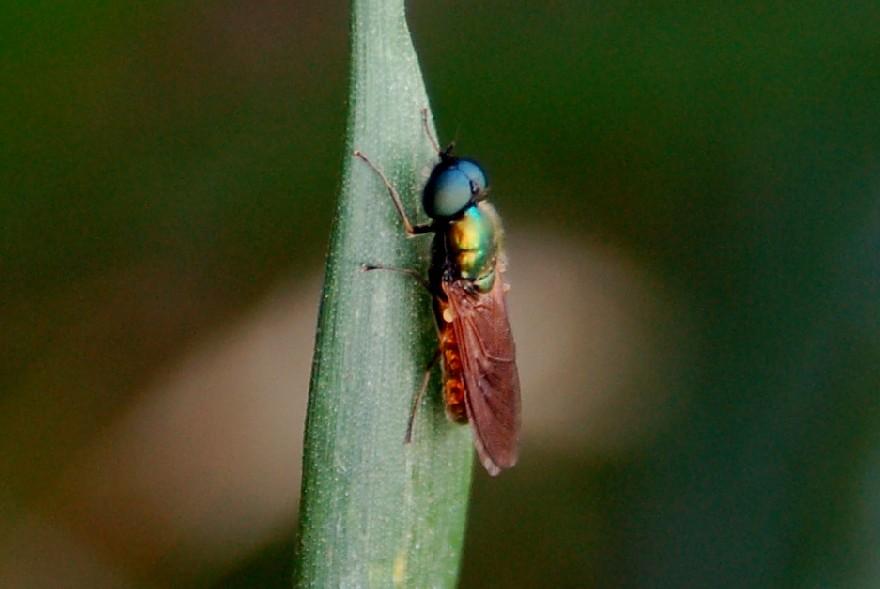 Chloromyia formosa - Stratiomyidae