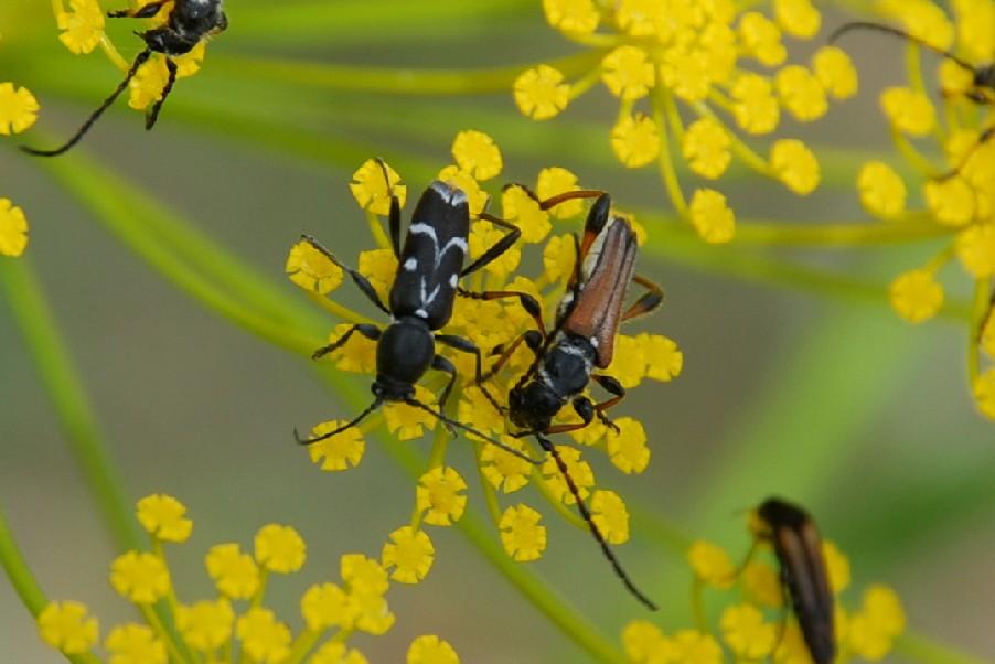 Chlorophorus figuratus - Cerambycidae