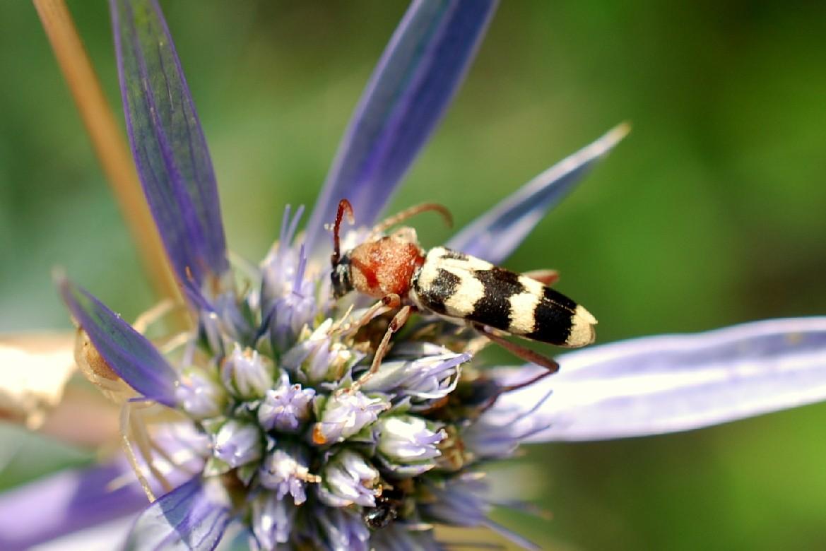 Chlorophorus trifasciatus - Cerambycidae