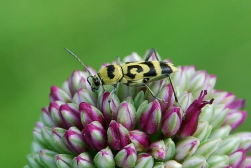 Chlorophorus varius - Cerambycidae