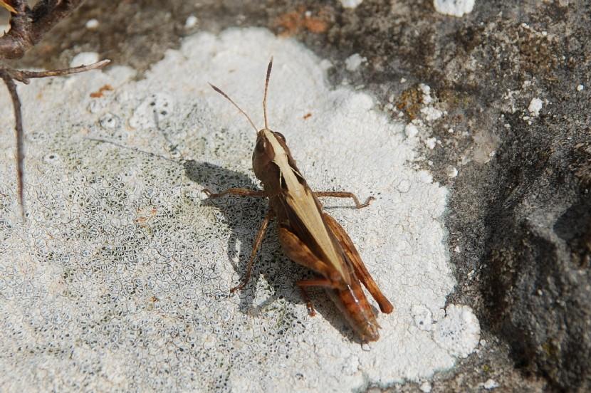 Chorthippus sp. - Acrididae