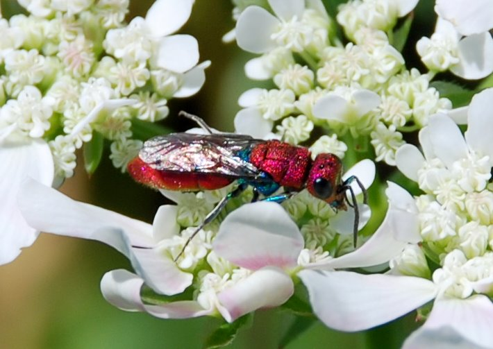 Chrysis cuprea - Chrysididae