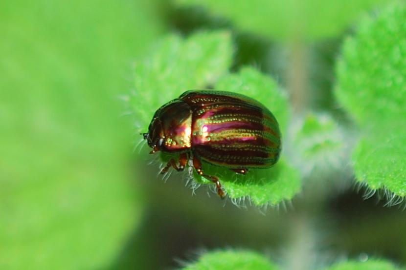 Chrysolina americana - Chrysomelidae