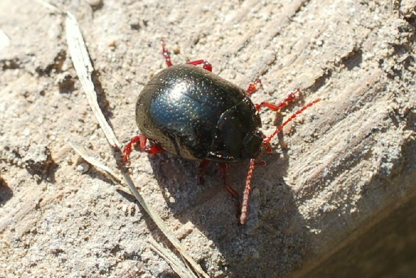 Chrysolina bankii - Chrysomelidae
