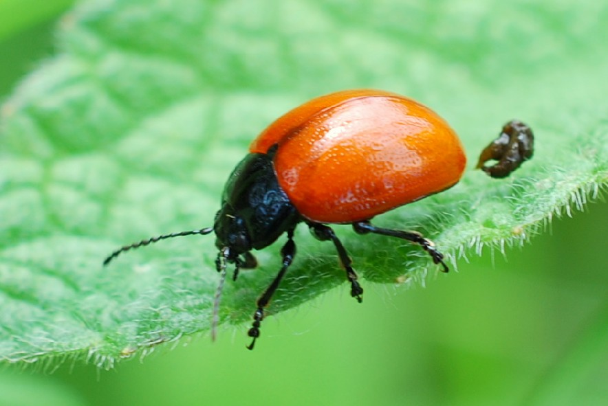Chrysolina grossa - Chrysomelidae