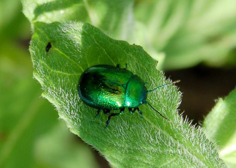 Chrysolina herbacea - Chrysomelidae