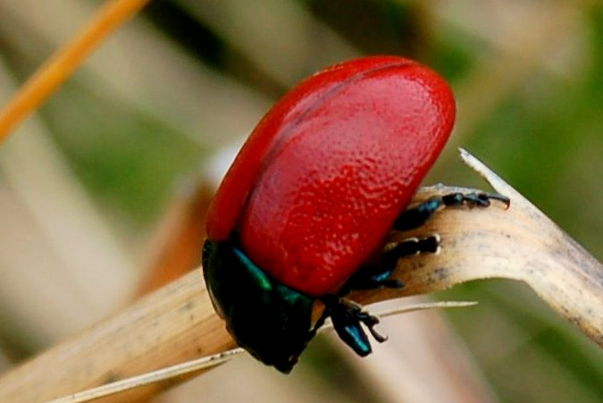 Chrysolina lutea - Chrysomelidae
