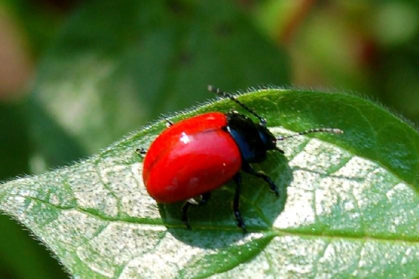 Chrysomela populi - Chrysomelidae